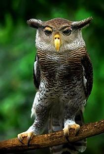 Egy mókás kinézetű Bagoly - Dorky Owl