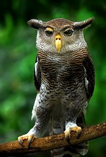 Egy m�k�s kin�zet� Bagoly - Dorky Owl